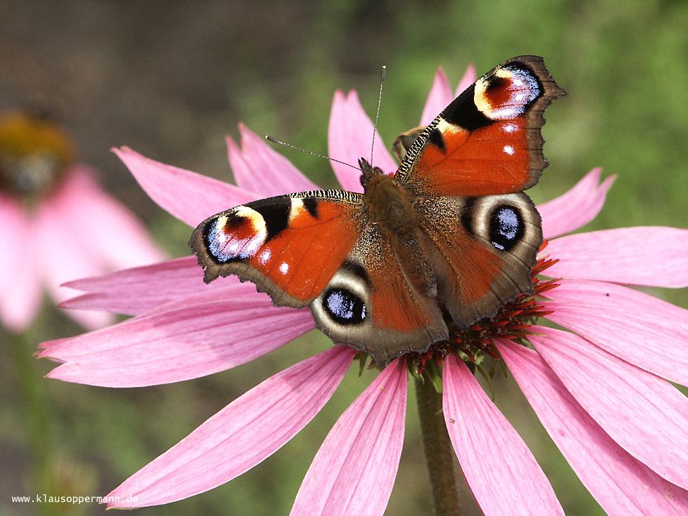 Schmetterling 001