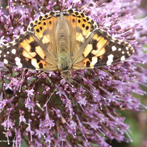 Schmetterling 002