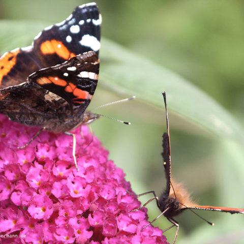 Schmetterling 003