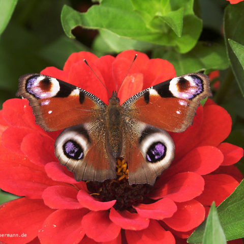 Schmetterling 004
