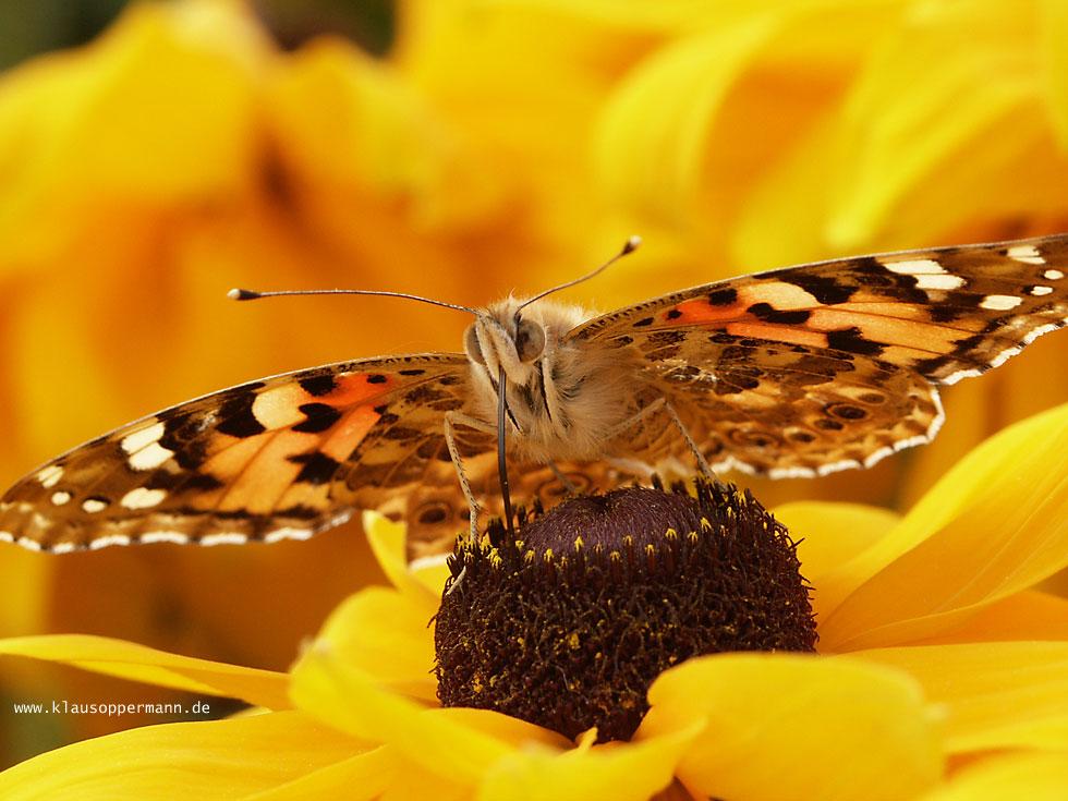 Schmetterling 005