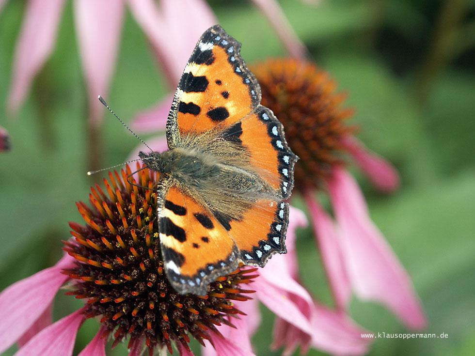 Schmetterling 006