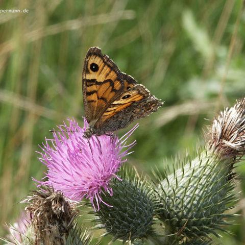 Schmetterling 008