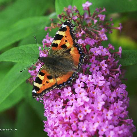 Schmetterling 009