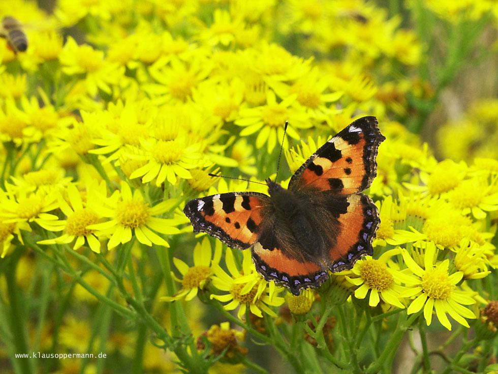 Schmetterling 010