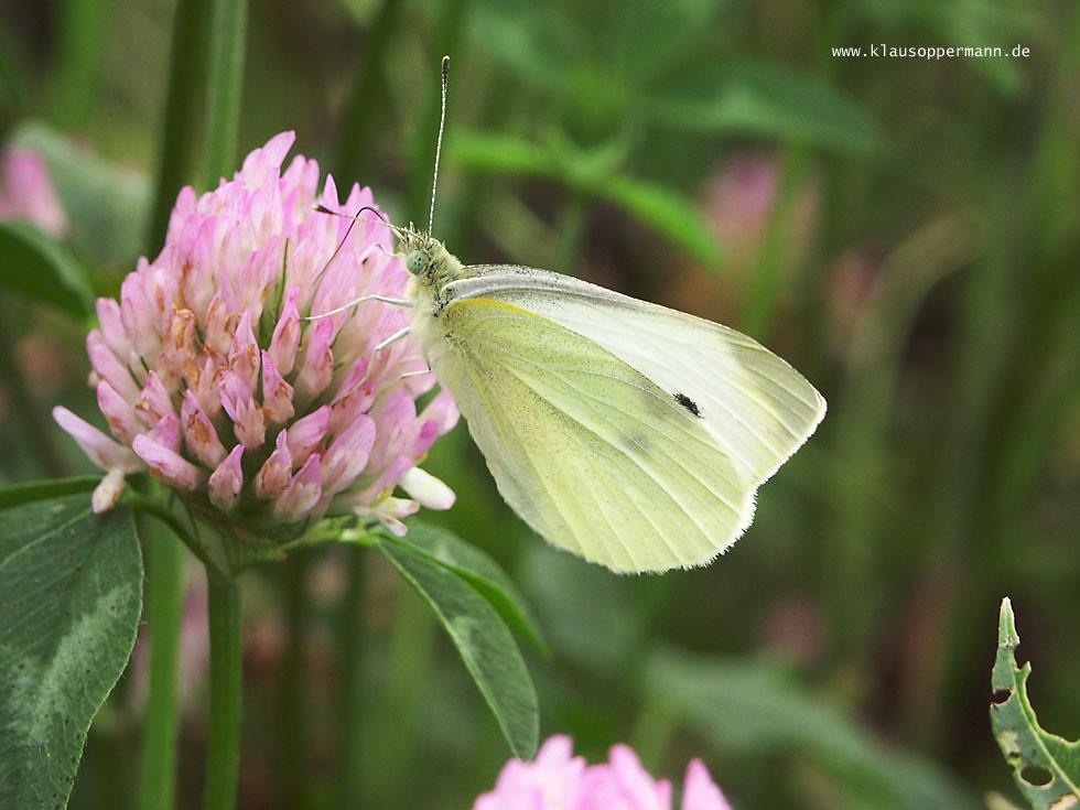 Schmetterling 011