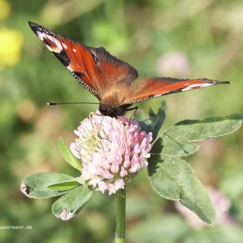 Schmetterling 012