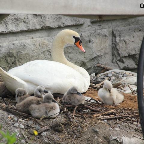 Lindau Bodensee Schwan Kuecken Schwimmvogel Nest